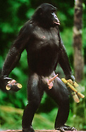 Bonobo male with sugarcane soliciting sex, D.R. Congo