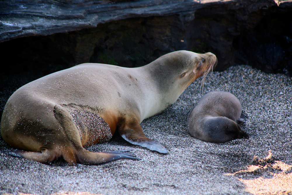 South America, Ecuador, Galapagos Islands, Santiago Island, James Island, Port Egas. A family of Sea Lions.