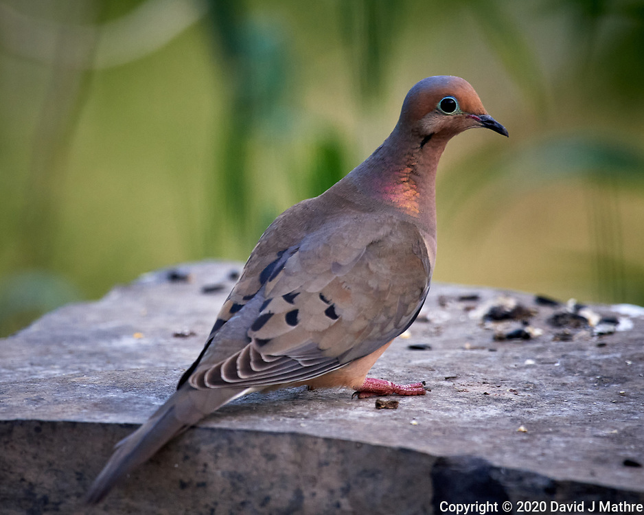 Mourning Dove. Image taken with a Nikon D5 camera and 600 mm f/4 VR telephoto lens (ISO 1600, 600 mm, f/5.6, 1/500 sec).