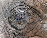 Elephant's thick eyelash protects its eye from chalky dirt that the animal had its forehead in along the bank of the Chobe River, Botswana, © 2019 David A. Ponton