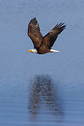 A bald eagle (Haliaeetus leucocephalus) flies over and is reflected on the water of Hood Canal near Seabeck, Washington.