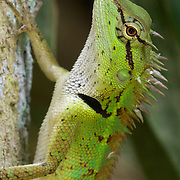 Emma Gray's Forest Lizard (Calotes emma), also known as the Forest Crested Lizard, is an agamid lizard found throughout Asia.