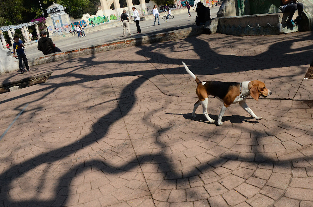 A beagle wanders freely in Parque Mexico, a dog-centric park in Mexico City's upper middle class neighborhood of Condesa, Feb 2012.
