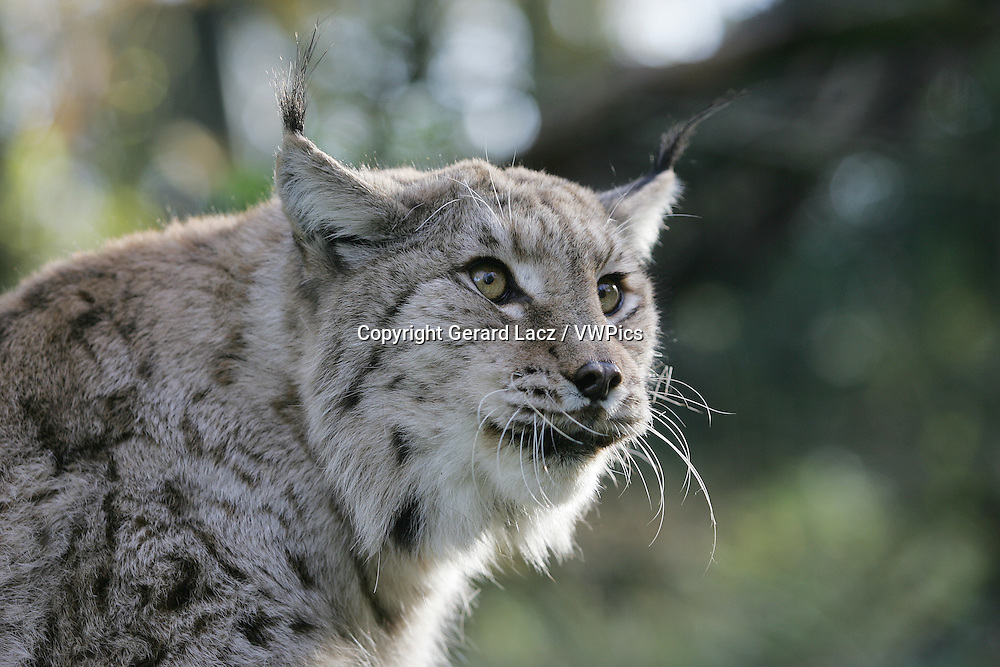 European Lynx, felis lynx, Portrait of Adult