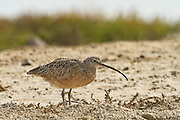Long-billed Curlew, Bolsa Chica, California, North America