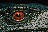 Eye of a Panay monitor lizard, Varanus mabitang.  A new species discovered in Panay Island, Philippines in 2001...IUCN Red List: Endangered.only found in remnant forest on Panay.