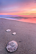 Moon Jellyfish are commonly washed up along the Outer Banks beaches. After being tossed in the surf the short fingerlike tentacles along the outside edge have been washed away and they are harmless.