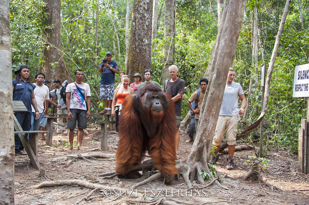 Bornean Orangutan <br /> Pongo pygmaeus<br /> Dominant male and tourists<br /> Tanjung Puting National Park, Indonesia