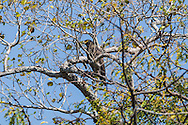 A Crested Serpent-eagle (Spilornis cheela) perched near the top of a tree. (Prey Veng, Cambodia)