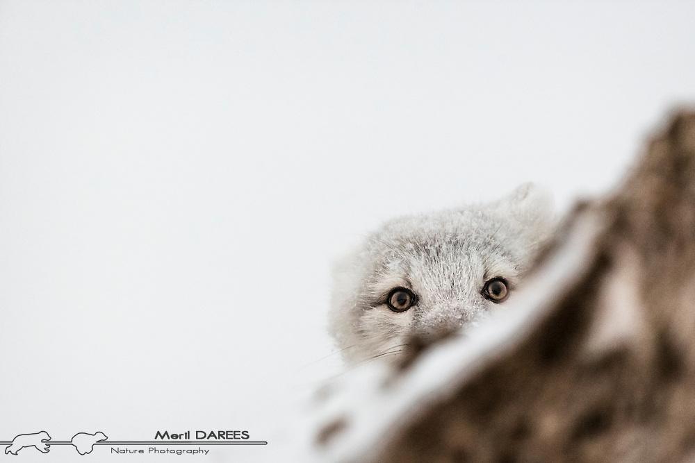 An arctic fox peeking a boo. Hudson bay, Churchill, Manitoba, Canada.