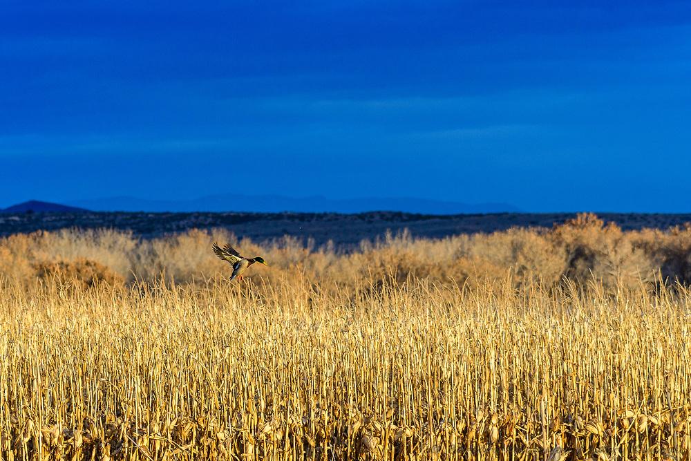 Mallard [Anas platyrhynchos] male flying into newly cut refuge corn field; Bosque del Apache NWR., NM