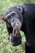Male chimp, Rambo, is photographed at the Ngamba Island Chimpanzee Sanctuary in Lake Victoria, Uganda.  Rambo was confiscated in an abnormal state, with a rash that would often result in accumulation of dead skin on the hands. Rambo is social and had no problem associating with his surrogate mother and any other visitor during his initial time in the quarantine at UWEC.<br /> On arrival at Ngamba Island he directly integrated so well with the likes of Nani, Nakuu, Nkuumwa and later the adult females. Although he is not afraid of the big- boys (Tumbo, Maisko and Sunday) he has great reservation and always keeps close to an adult female. 03/15/ Julia Cumes/IFAW