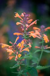 Agastache × hybrida 'Arizona Sandstone'