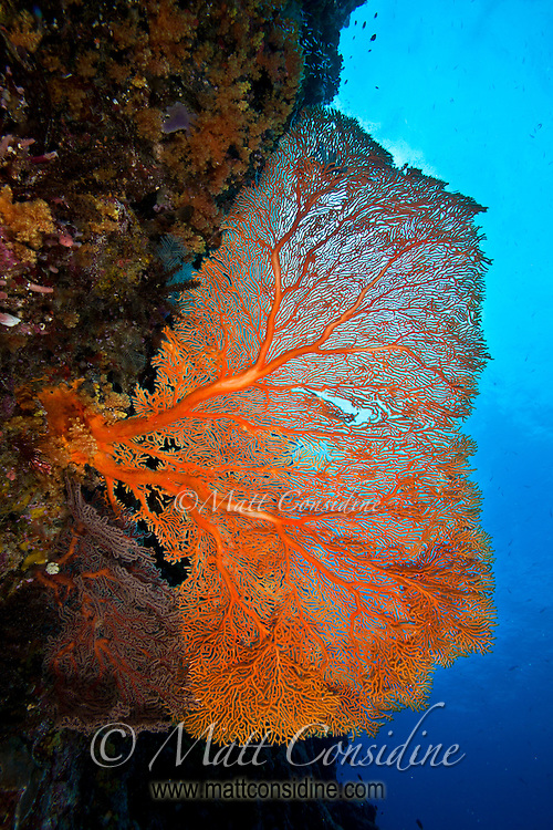 Fabulous but very delicate fan coral on wall. (Photo by Matt Considine - Images of Asia Collection)