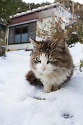 En katt i p&aring; Tashirojima, &ouml;n som kallas f&ouml;r &quot;katt&ouml;n&quot; eftersom h&auml;r lever hundratals katter tillsammans med ca 50 personer.   <br /> Ishinomaki, Miyagi Prefecture, Japan. <br /> Fotograf: Christina Sj&ouml;gren<br /> Copyright 2018, All Rights Reserved