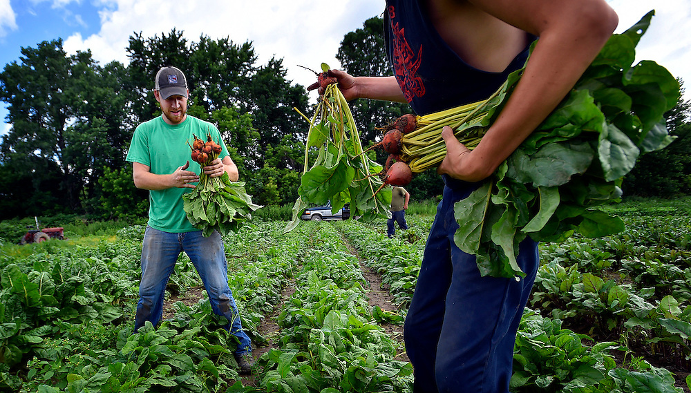Dan Kalman and Joey Thompson pick golden beets to bring to O'Malia's stand for opening day of the Wilkes-Barre Farmers Market Thursday.