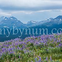 lupine meadow blackfeet reservation glacier national park background