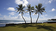 Punaluu; Windward Oahu; Hawaii; coconut palm tree
