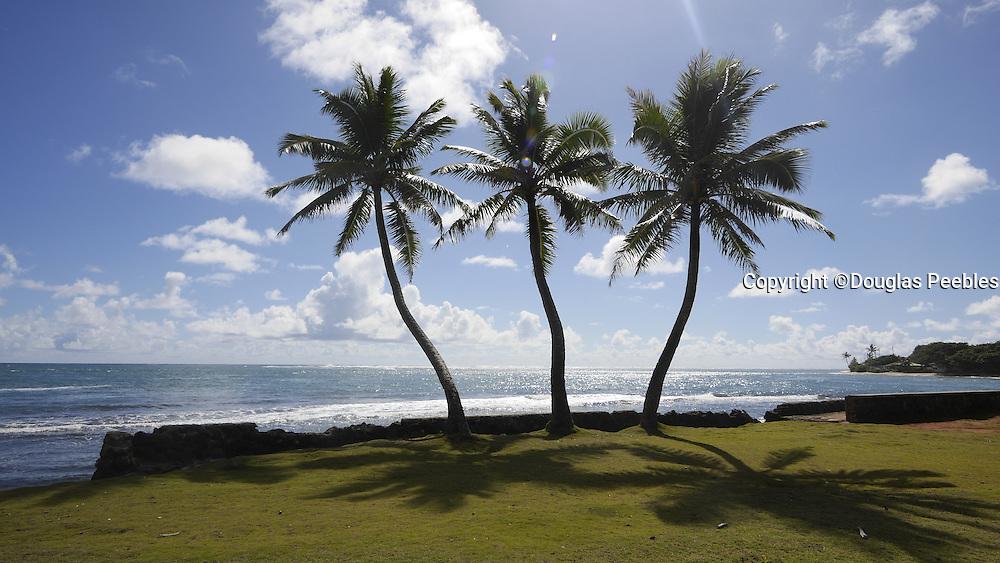 Punaluu; Windward Oahu; Hawaii; coconut palm tree