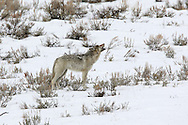 Gray wolf howling in winter habitat in Yellowstone