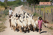 Children herding sheep and goats in farming scene at Nimaj, Rajasthan, Northern India