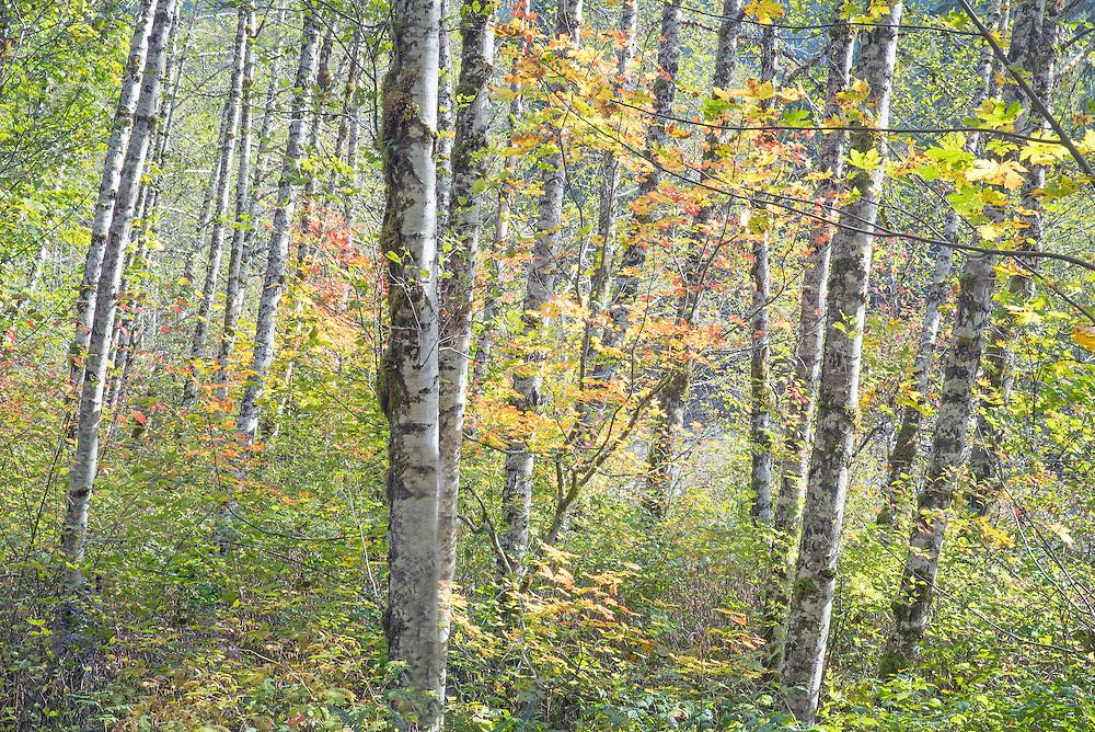 afternon light on autunn red alder forest North Cascades Washington State