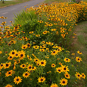 Black-Eyed Susans on Block Island, Rhode Island
