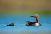 The Red-throated Loon or Red-throated Diver (Gavia stellata), is a migratory aquatic bird found in the northern hemisphere; it breeds primarily in Arctic regions, and winters in northern coastal waters. It is the most widely distributed member of the loon or diver family.