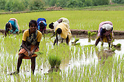 After the rains, fields are ploughed and rice transplanted by women. Keezh Koodaloor, Villupuram District,Tamil Nadu.