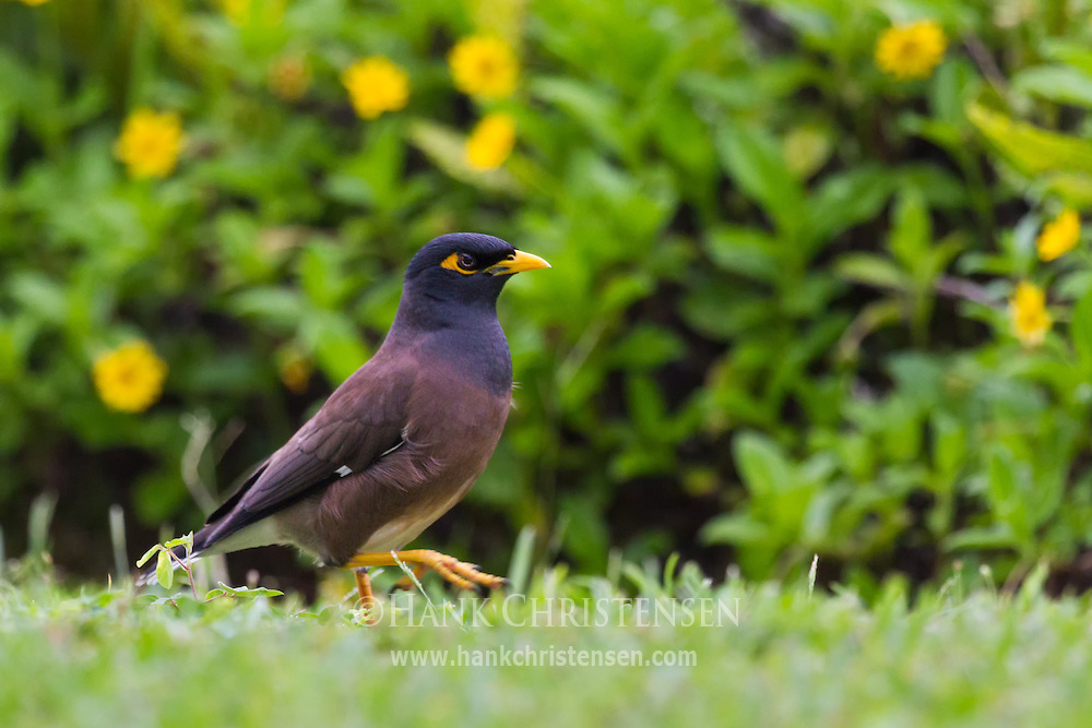 A common myna stands in short grass