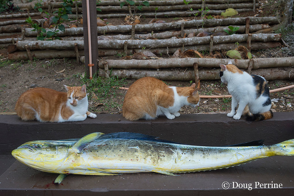 cats Zamba, JJ, and Patch with mahi mahi fish caught aboard Reel Addiction, waiting for it to be cleaned; Ika Lahi Fishing Lodge, Vava'u, Kingdom of Tonga, South Pacific