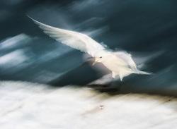 Ivory Gull (Pagophila eburnea) at seal kill at 82 degree North in Svalbard, Norway
