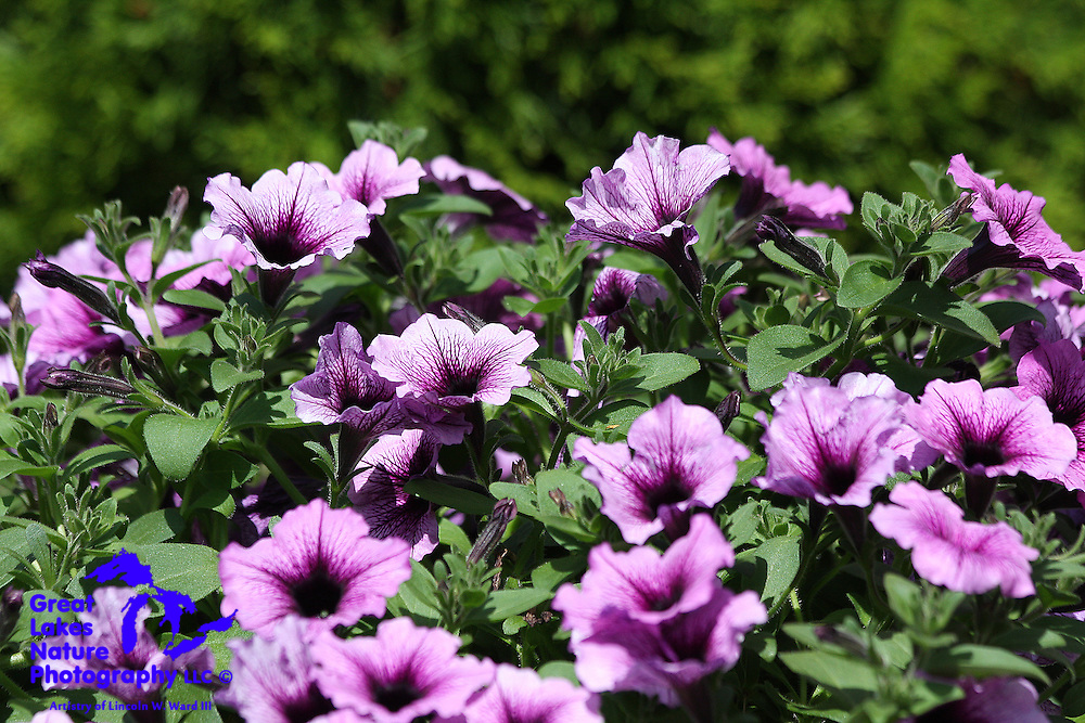 Hybrid Petunias in the Bordeaux color against a defocused Arbor Vitae background. Very pleasant texture.