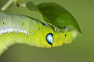 Oleander Hawk-moth<br /> larva