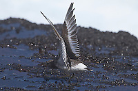 Surfbird photo Hawaii