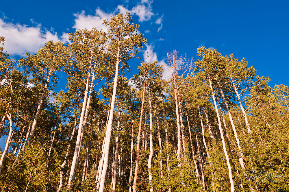 Aspen grove, Telluride, Colorado