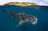 A whale shark (Rhincodon types) swims underneath a fisherman's boat. In Oslob, Philippines, fishermen have been feeding whale sharks and made this practice into a controversial tourist attraction since late 2011.