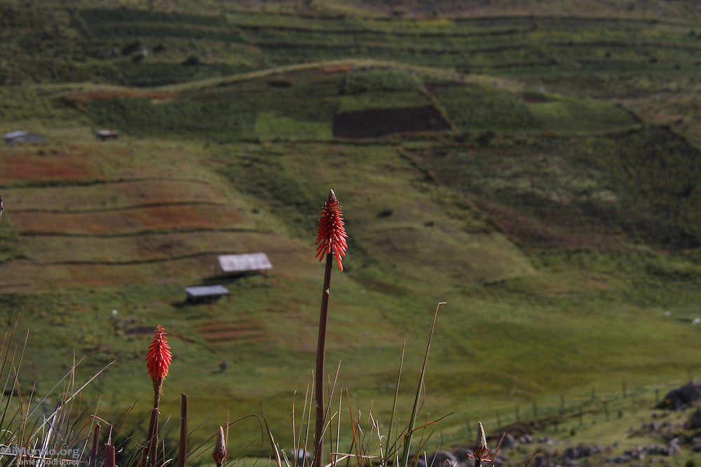 Torch lily, or Kniphofia, are very common in the Cuchumatanes Sierra, the highest and most extensive non-volcanic mountain range in Central America with elevations ranging from 500 meters to over 3,800 meters above sea level. Numerous biomes, or ecosystems, found in the Cuchumatanes are unique within Central America. Chiantla, Huehuetenango, Guatemala. August 4, 2013.