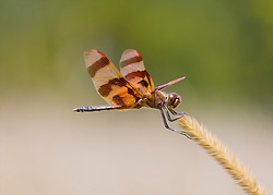 The Halloween Pennant has been described as looking very similar to a butterfly. Its wings are orange-yellow in color, though its markings are dark brown, not black as is commonly believed; the entirely orange-yellow wings with dark brown bands are what has given it its Halloween common name and its typical position of being perched at the tip of a weed stalk, waving in the breeze like a pennant contributes to the remainder of its common name. The young has yellow markings, including a stripe on its back, and adult males develop pale red markings, particularly on the face, though females will occasionally get these red markings too. Halloween Pennants are normally between 38 and 42 mm (approx. 1.5 inches) in size. They feed on other insects, and they are able to fly in rain and strong wind. On hot days, it will often shade its thorax using its wings.
