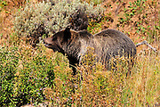 A grizzly in September is always looking for food.