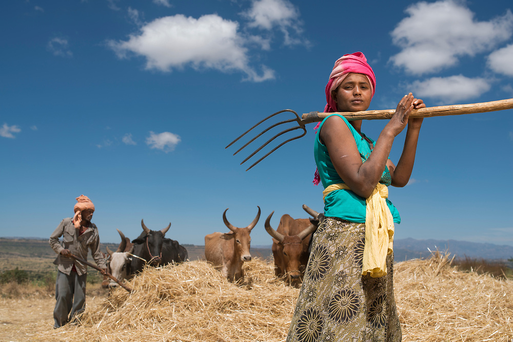 Trampeling wheat for the winnowing process in Ethiopia. The oxen help break down the wheat stalks and loosen the grain in the heads to make the winnowing easier.