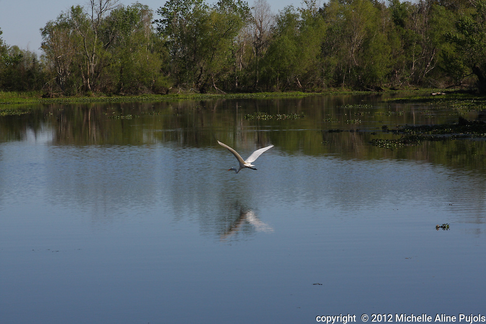 Heron flying over the swamp.