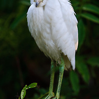 Portrait of a wild fledgling snowy egret (Egretta thula) at the St. Augustine Alligator Farm Rookery, Anastasia Island, St. Augustine, Florida.