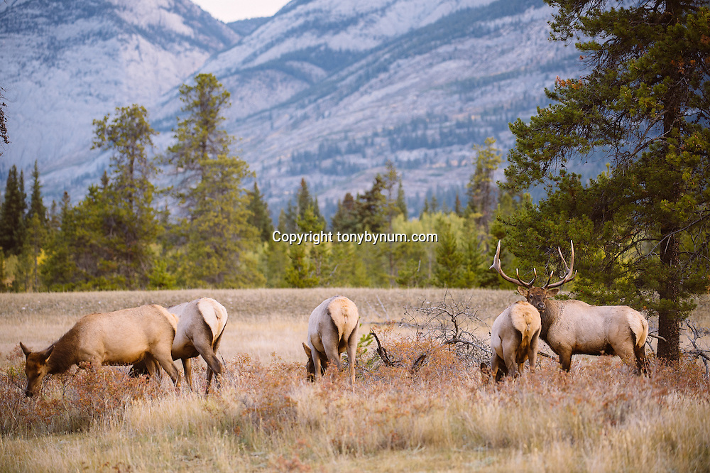 herd of elk standing in meadow