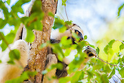 Verreaux's sifaka photography in Kirindy Forest, Madagascar
