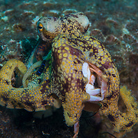 A Poison Ocellate Octopus, Amphioctopus siamensis, living in a coral, Dauin, Dumaguete, Negros Island Region, Philippines.