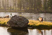 Early morning shot of elk grazing on small island on Yellowstone River