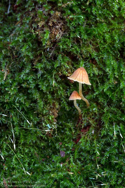 Two small Mycena mushrooms growing in the moss on a rotting tree stump at Campbell Valley Park in Langley, British Columbia, Canada