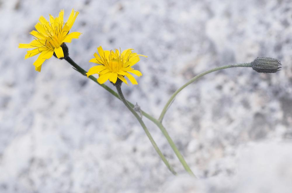 Rough hawkbit; Leontodon hispidus, Augstenberg, Liechtenstein