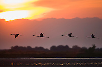 Greater Flamingos (Phoenicopterus roseus) in flight, silhouetted against sky at sunrise, Camargue, France